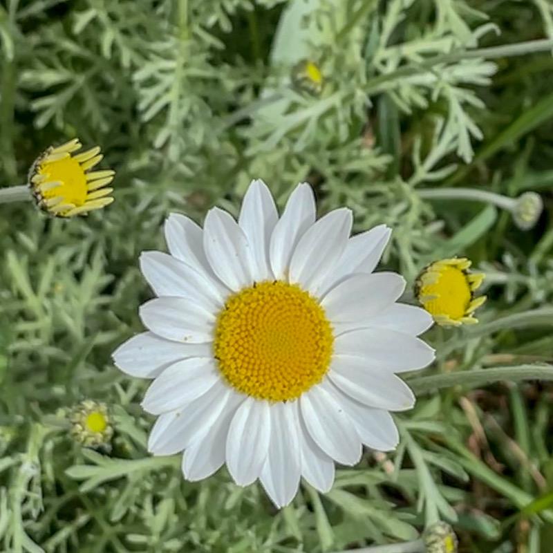 daisy love in Spring