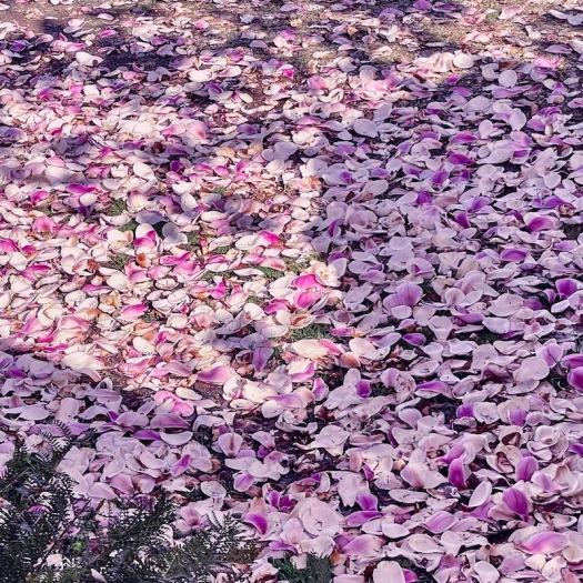 magnolia carpet in Spring