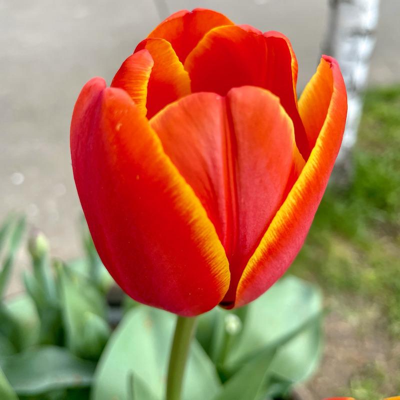 tulip love in Spring