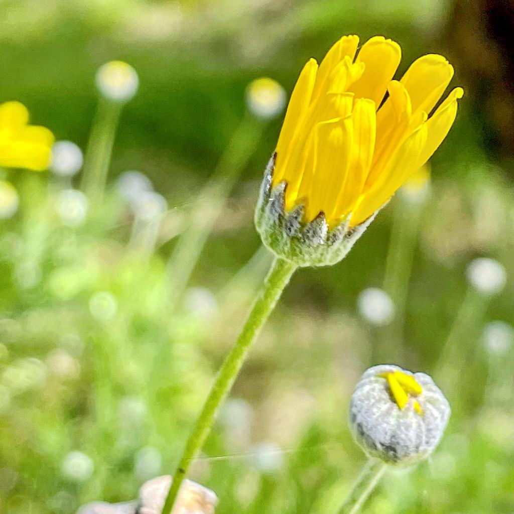 yellow daisy3